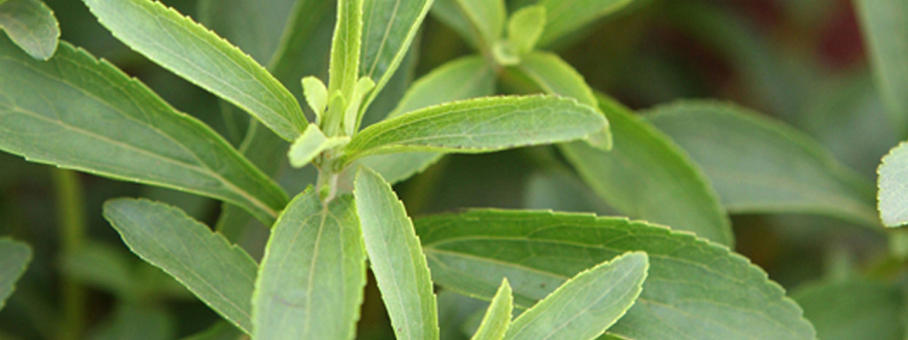 Stevia rebaudiana, plants based sweetener. One of the sweeteners we offer in Food Ingredients Solutions.