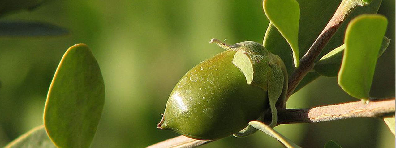 Jojoba nut in tree