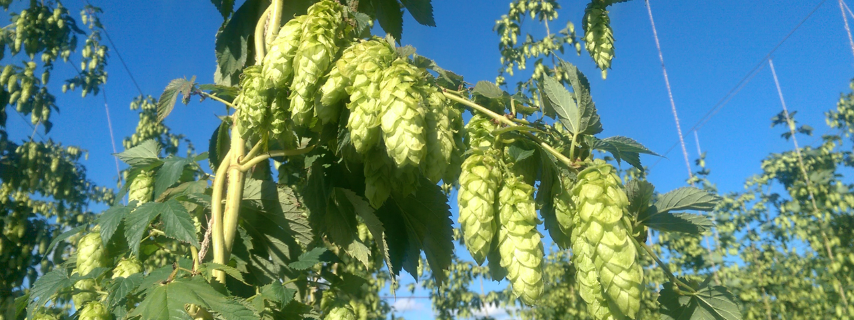 hops one of the main ingredients to brew beer, on sale now, save up to 20 percent